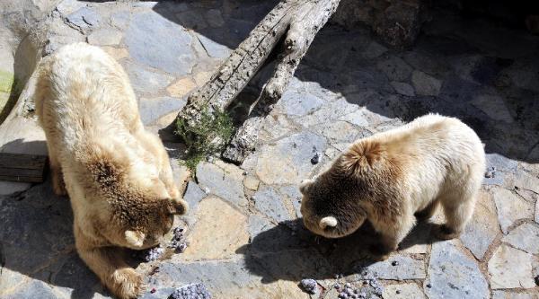 Sıcaktan Bunalan Hayvanlar Buzlu Meyve Ve Hortumla Su Sıkılarak Serinletiliyor