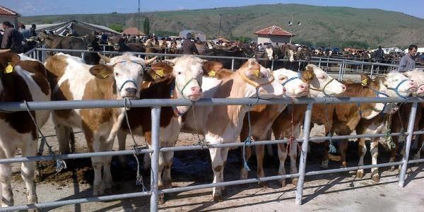 Sığır Cinsi Hayvanların Küpelenmesinde Süre 3 Aya Çikarildi