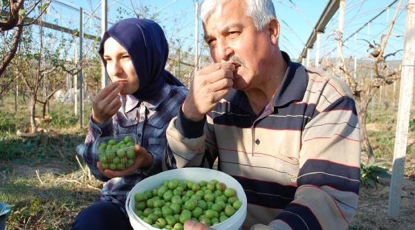 Silifke'de Erik Ağaçlari  Meyve Verdi