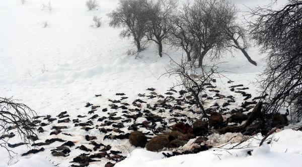 Şirnak'ta Çadir Barinaklar Kardan Çöktü: 1500 Kuzu Ve Koyun Telef Oldu