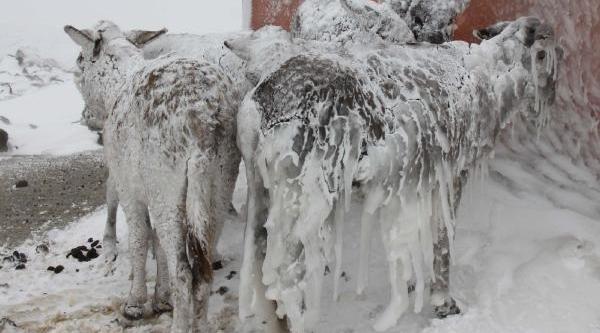 Siverek'te Eşekler Buz Tuttu