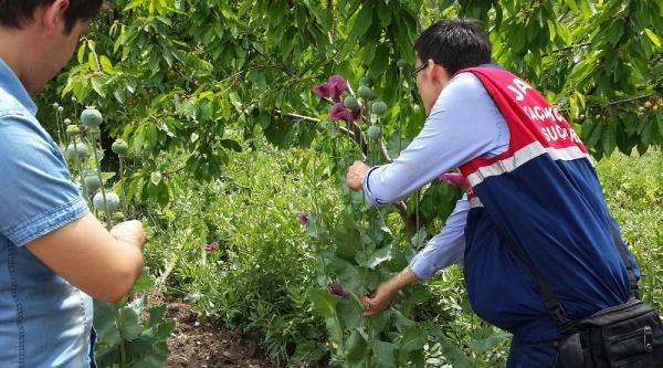 Soğan Ve Dometes Tarlalarında Haşhaş Ve Hintkeneviri Yetiştirmişler