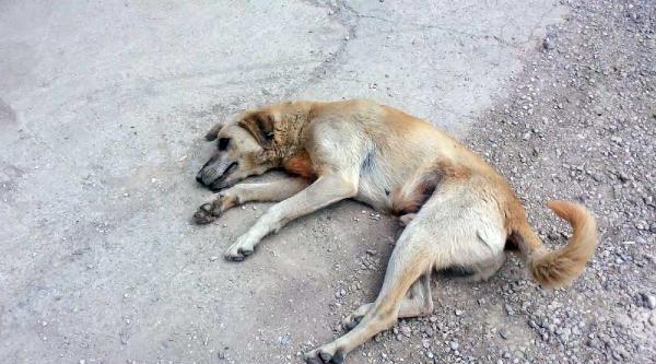Sokak Köpeğini Sürükleyerek Kısırlaştırmaya Götürdüler