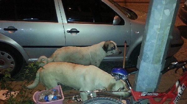 Sokak Köpekleri 2 Kadına Saldırdı