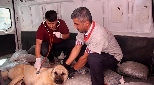 Sokak Köpeklerinin Yaraladığı Kangala Tedavi