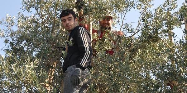 Suriyeli Siğinmacilar Iznik'Te Zeytin Topluyor