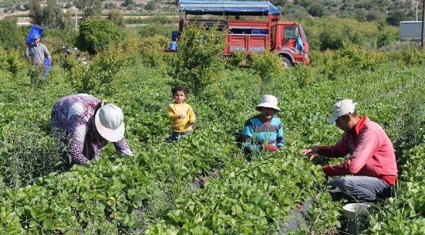 Tarım İşçileri 1 Mayıs'ı Tarlada Çalişarak Geçirdi