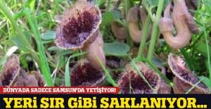 Dünyada sadece Samsun'da bulunan bitkinin yeri sır gibi saklanıyor!