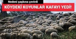 Esrar yiyen koyunlar köyü birbirine kattı!