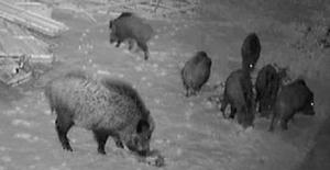 Sivas'ta aç kalan domuzlar üniversite kampüsüne indi