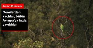 Afrikalı 'Yeşil Papağanlar' Avrupa'ya Yayıldı