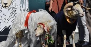 Koç ile koyuna düğün yaptılar, şahitleri ise...