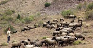 Bu çoban üç dil biliyor! Yurt dışındaki kariyerini bırakan turizmci, hayvancılığa başladı
