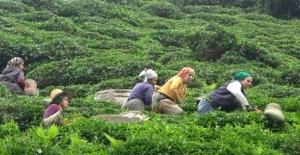 Yabancı uyruklu çay işçileri gelmeyince 100 Milyon dolar Türkiye'de kaldı