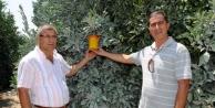 Dalda Kalan Greyfurt Meyve Sineği Zararlısını Artırdı