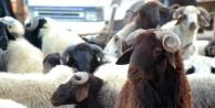Hayvan Yetiştiricileri Kurbanlık İthaline Karşı