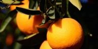 Portakal Üreticisi Ağaçlarini Kesiyor