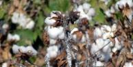 Süs Bitkilerini Kurutan Zararlı Pamuğa Sıçradı