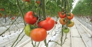 Eksi 40 derecede domates üretimi