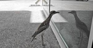 Kendine hayran kuş Avustralya'da sosyal medya fenomeni oldu