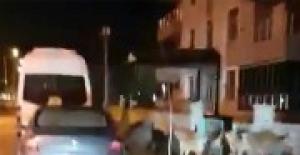 Kente inen domuzu, sokak köpekleri kovaladı!