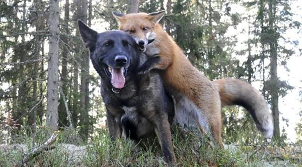 Tilki Ve Köpeğin Dostluğu