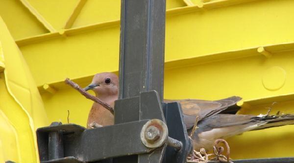 Tır'ın Dorsesine Yuva Yapan Güvercinin Yavruları Çikti