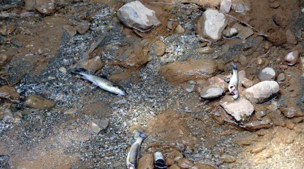 Tokat'ta Derede Balık Ölümleri