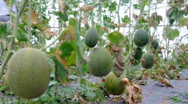 Tokat'ta Sırıkta Kavun-karpuz Üretimi