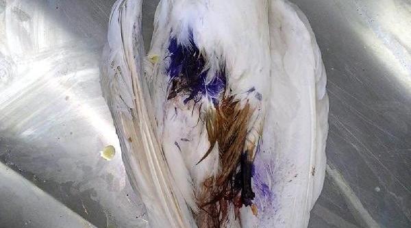 Tüfekle Vurulan Kuşa Protez Bacak Takilacak