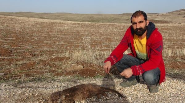 Tunceli'de Su Samuru Yol Kenarında Ölü Bulundu