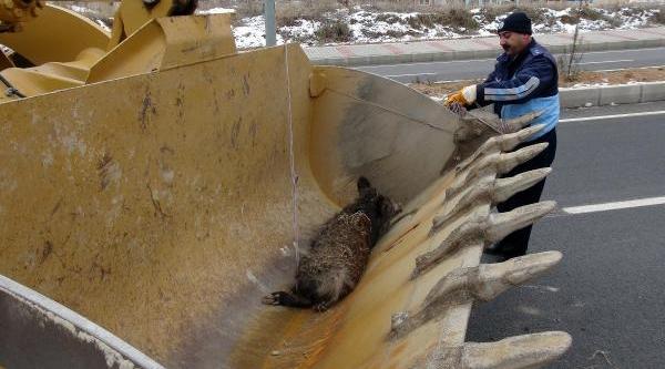 Tunceli'de Yarali Domuzu Kurtarma Operasyonu