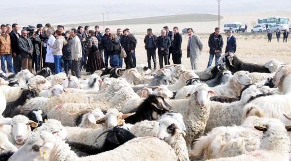 Türkiye'nin Ilk Resmi Çobanlik Kursu Polatli'da Açildi