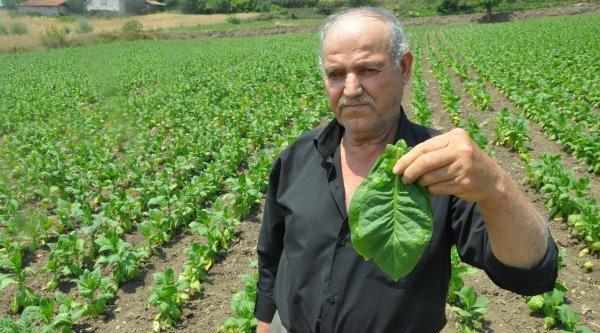 Tütünde Üretim Yeniden Arttı