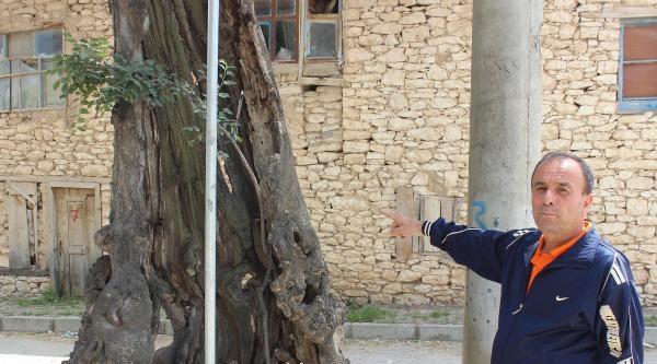Uşak'taki Çitlik Ağacı 560 Yıldır Ayakta
