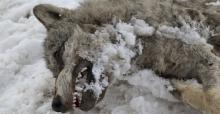 Sivas'ın ayazı koca kurdu dondurdu