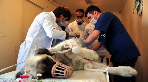 Van'da 700 Köpek Kisirlaştirildi