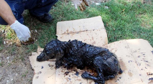 Vücudu Zift İçinde Kalan Köpek, Ölümden Döndü