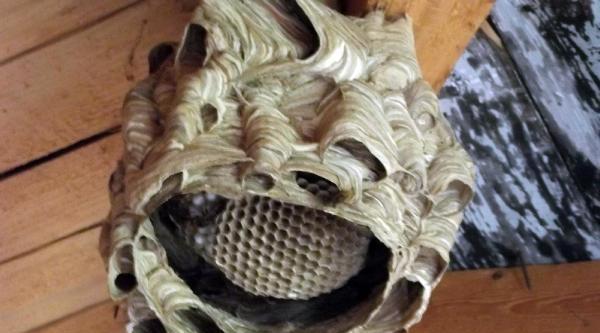 Yaban Arılarının Şaşirtan Yuvası