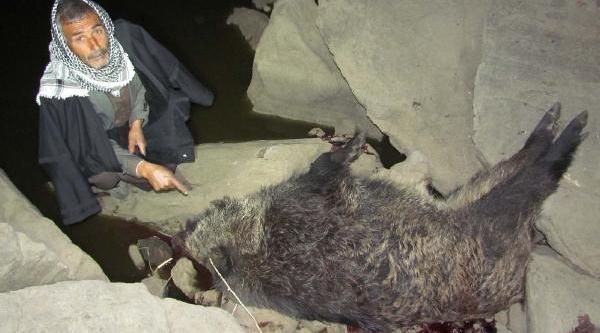 Yaban Domuzunun Saldirdiği Çoban Yaralandi