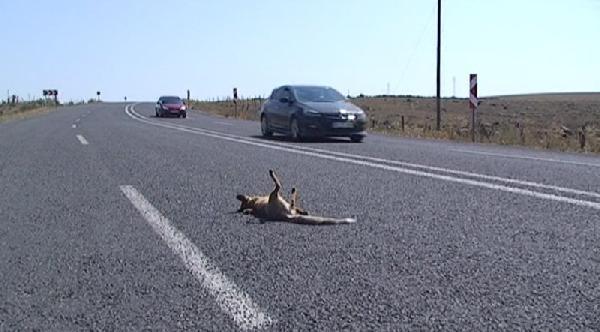 Yaban Hayatı Da Trafik Kurbanı