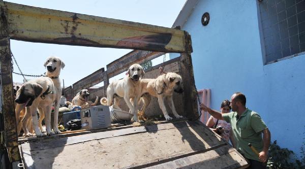 Yalova'da Telef Olmaktan Son Anda Kurtarılan Köpeklerin Sahibine Ceza - Ek Fotoğraf