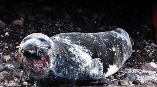Yaralı Akdeniz Foku Sonunda Yakalandı