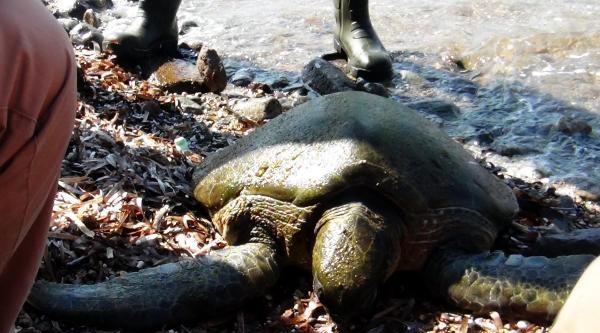 Yaralı Deniz Kaplumbağasını Akut Kurtardı