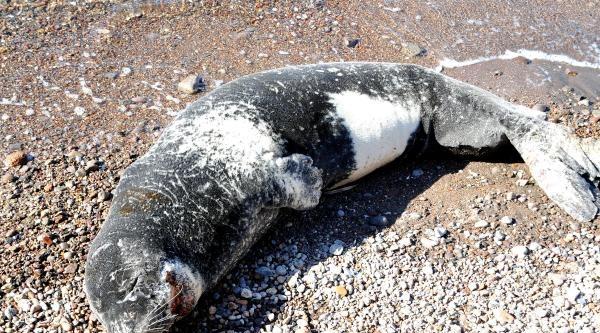 Yaralı Fok Bu Kez Türkbükü Sahilinde Görüldü