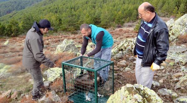 Yarali Kara Akbaba, Doğal Ortamina Birakildi
