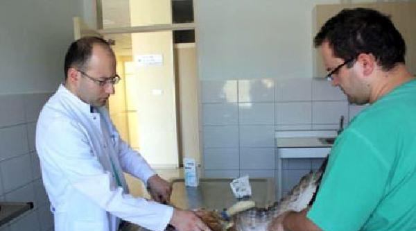 Yaralı Kızıl Şahine Üniversite Hastanesi'nde Tedavi
