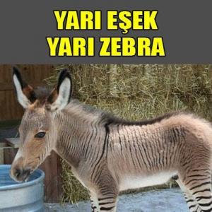 Yarı Eşek Yarı Zebra Görenleri Hayrete Düşürüyor!