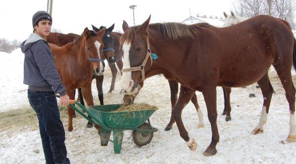 Yariş Atlarini Bakimini Yapiyor, Hedefi Jokey Olmak