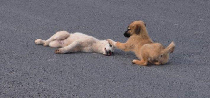 Yavru köpek arkadaşını bırakmadı